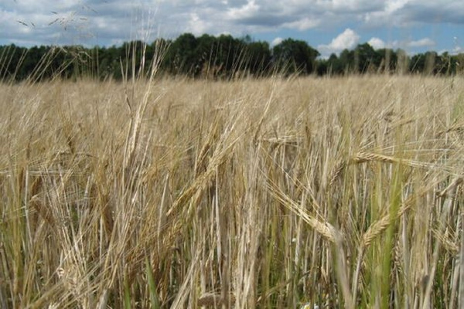 Ekspert IERiGŻ: Zbiory zbóż będą o ok. 10 proc. niższe niż rok temu