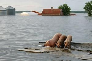 GIS: W powodzi padło 410 szt. trzody i ponad 77 tys. szt. drobiu