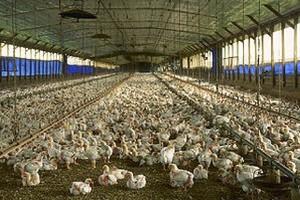 W Polsce rosną ceny wieprzowiny, żywca wołowego i kurcząt