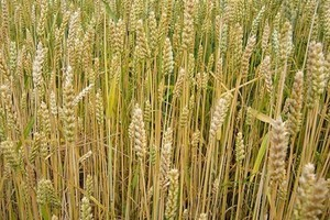 Eksperci obniżyli prognozę produkcji zbóż w UE-27