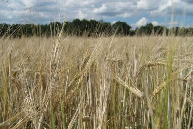 Wysokie notowania cen zbóż na giełdach światowych