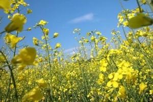 Na Ukrainie o 16 proc. zmaleją zbiory rzepaku