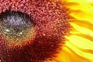 Brak cła na ziarna słonecznika może poprawić zysk Kernela