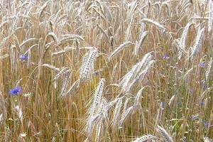GUS: Zbiory zbóż podstawowych spadną o 7-10 proc. w 2010 r.