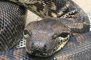 Wąż boa schwytany w Katowicach