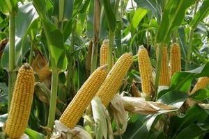 Zbiory kukurydzy nie powinny być niższe niż rok temu
