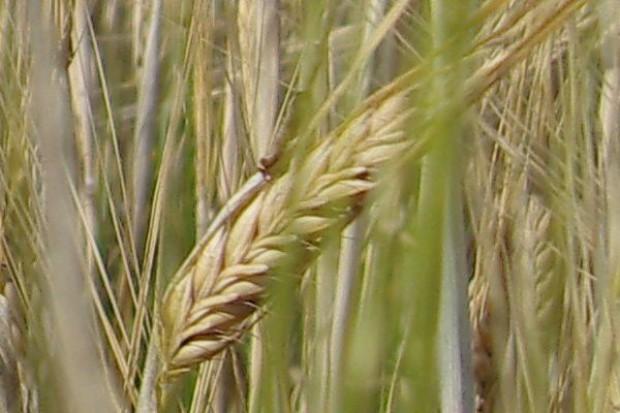 Niestabilna pogoda i opóźnienia w zbiorach windują notowania zbóż. Rekordowe ceny pszenicy konsumpcyjnej