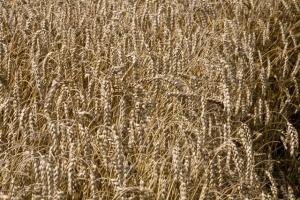 Ukraina zamierza ograniczyć eksport zboża