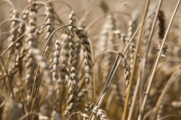 Niepewność sytuacji na rynkach podwyższa ceny zbóż