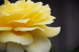 W Ekwadorze wyhodowano jadalną różę