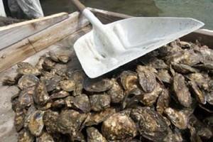 Straty hodowców ostryg idą w setki milionów euro
