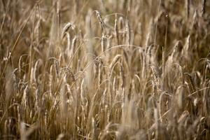 Ukraina zbierze w tym roku 40,5 mln ton zbóż