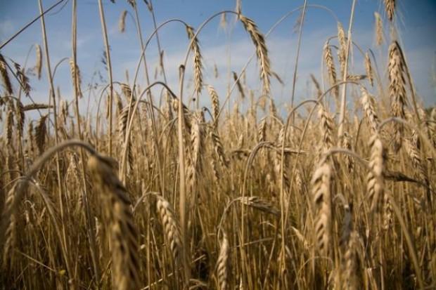 KE obniża szacunki zbiorów zbóż