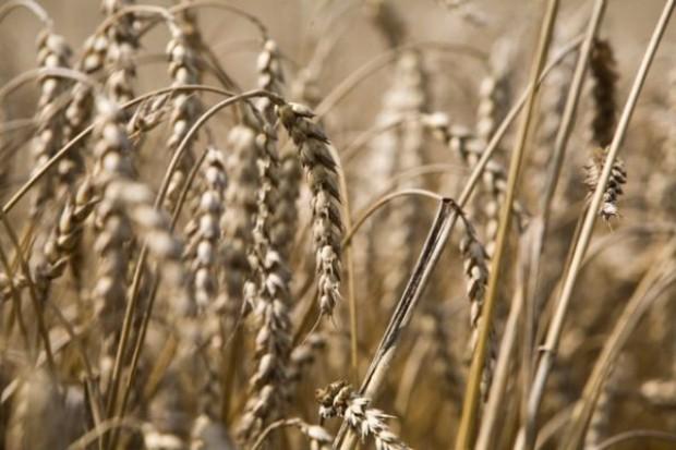 Niepewność na rynku pszenicy na świecie
