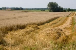 Zbiory zbóż w Czechach o ponad 9 proc. niższe niż rok temu