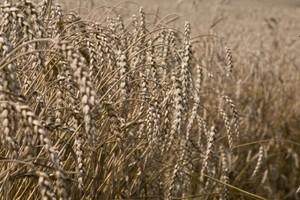 Polska za interwencją na rynku zbóż, KE skłonna się zgodzić