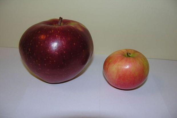 Polscy sadownicy wyhodowali jabłka giganty. Niektóre z nich ważą 72 dekagramy
