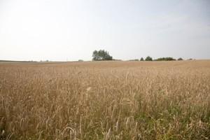 Copa-Cogeca: O 5 proc. spadła w tym roku unijna produkcja zbóż