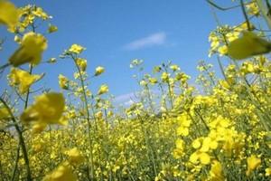 Na Ukrainie znacząco zmaleją zasiewy rzepaku ozimego