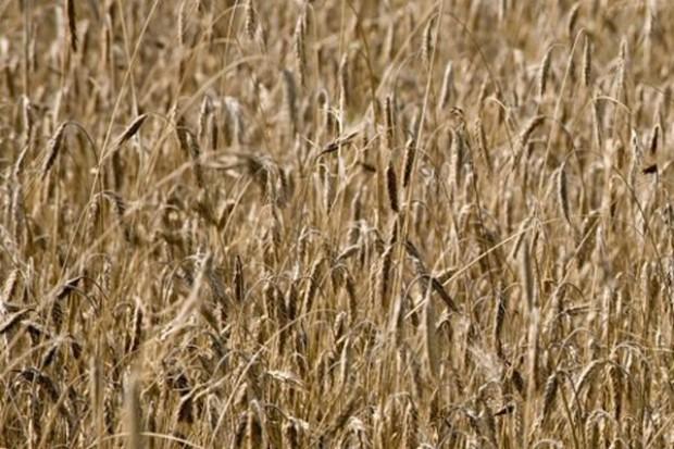 Na przełomie września i października ceny zbóż podstawowych wzrosły o 2 proc.
