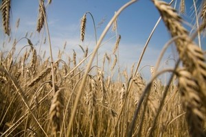 Ukraina wstrząsnęła rynkiem zbóż