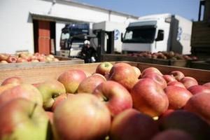 Jabłka łąckie objęte geograficzną ochroną w UE