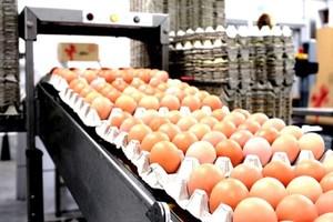 Prezes Fermy Oldar: Polacy nadal najczęściej wybierają jaja klatkowe