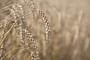 W październiku następował stopniowy spadek cen zbóż