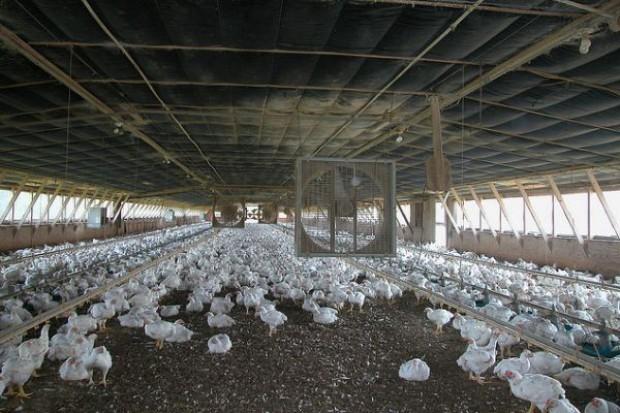 Kurczak, indyk i gęś ratują branżę mięsną