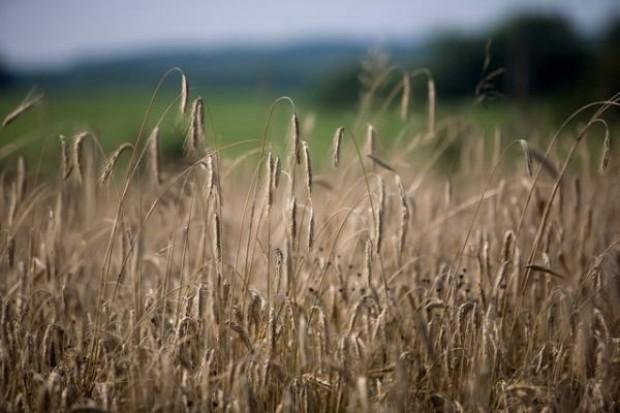 Ceny zbóż idą w górę