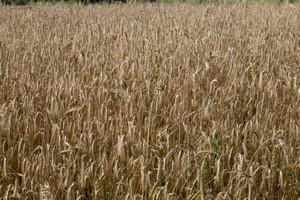 Koniec roku pod znakiem wzrostu cen na rynku zbóż