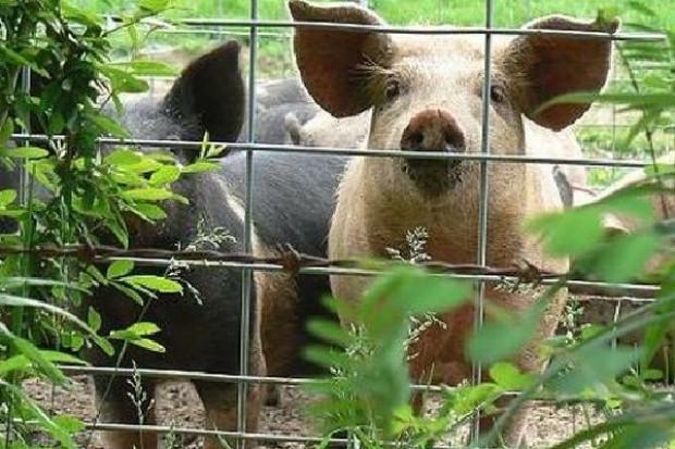 Konsekwencje skandalu z dioksynami. Kolejne kraje rezygnują z kupowania niemieckich świń, drobiu i jaj