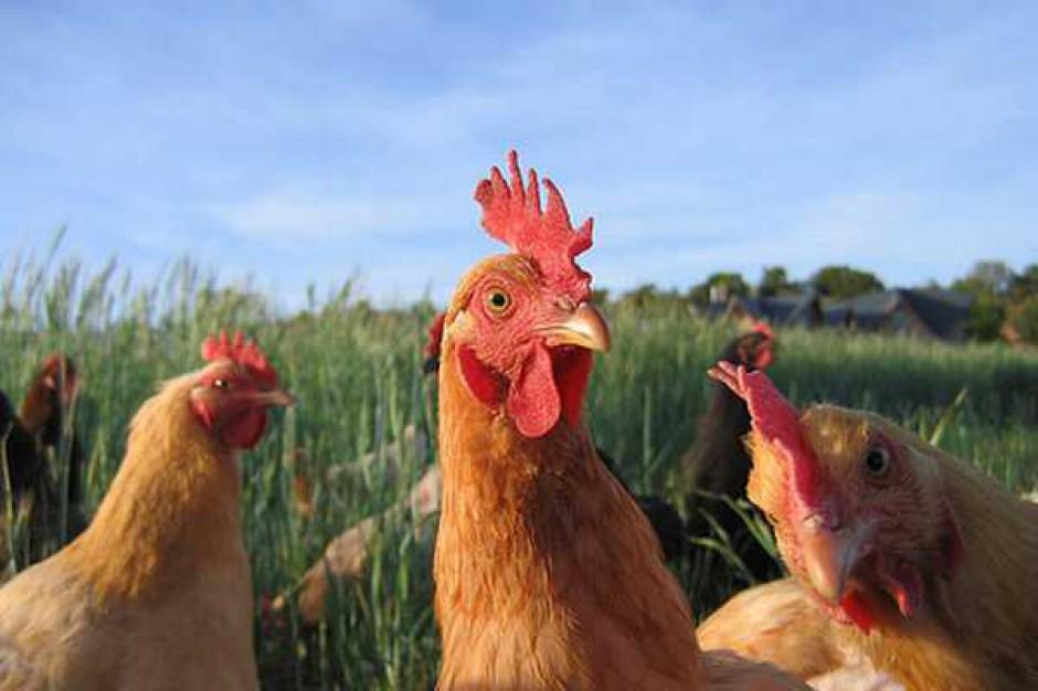 Transgeniczne kurczaki przeciw ptasiej grypie