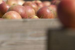 Mniejsze zapasy jabłek w krajach UE-15