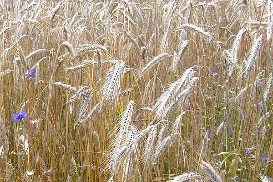Sytuację na polskim rynku zbóż widać już w sklepach