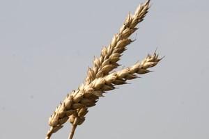 Wyższe zbiory pszenicy w sezonie 2011/2012