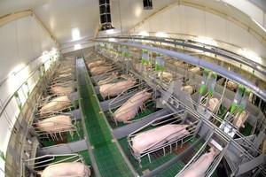 Spadek cen skupu żywca wieprzowego
