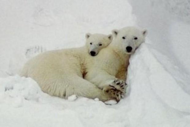 Ocieplenie klimatu utrudnia niedźwiedziom polarnym rozmnażanie