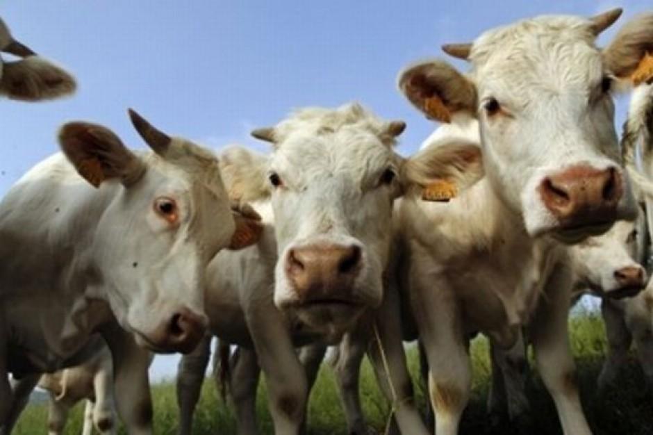 Podwyższono wiek zwierząt testowanych na BSE