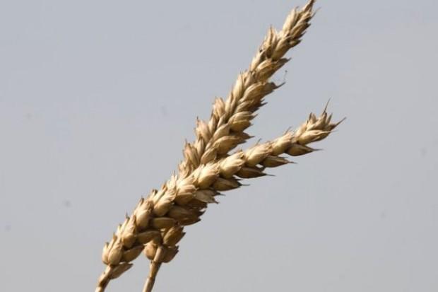 W mijającym tygodniu na giełdach odnotowano spadek notowań pszenicy