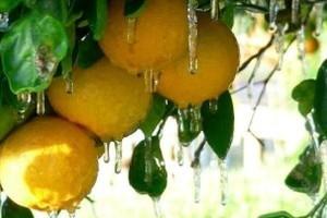 Prognoza zbiorów pomarańczy na Florydzie