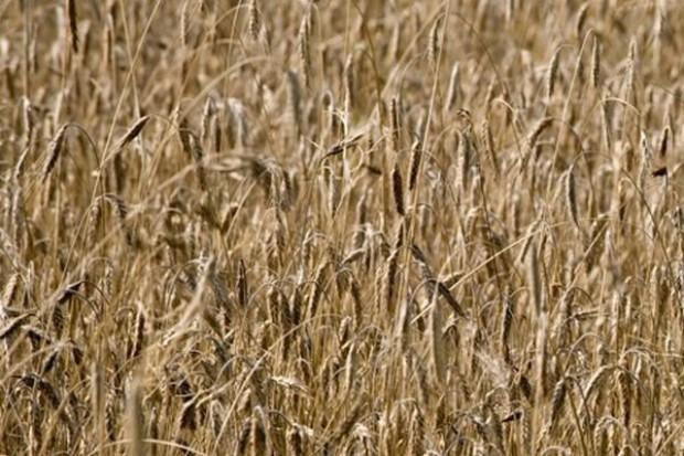 ARR: W tym roku zbiory zbóż wyniosą 27-28 mln ton