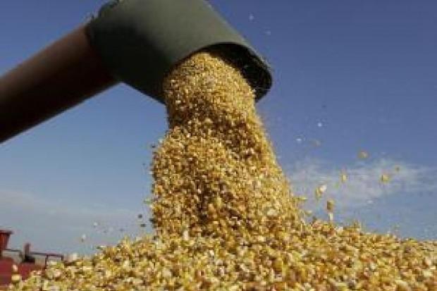 Goldman Sachs rekomenduje realizację zysków na surowcach rolnych. Czy to koniec drogiego zboża?