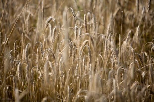 Szacunki tegorocznych zbiorów zbóż utrzymane