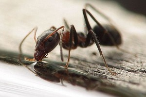 Olbrzymie mrówki sprzed milionów lat przemierzały kontynenty