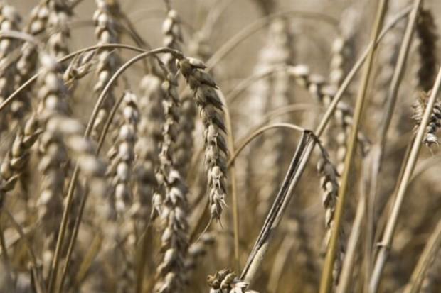 FAO: Globalna produkcja pszenicy wzrośnie w 2011 r. o 3,5 proc.