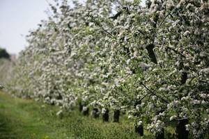 Pogoda może wpłynąć negatywnie na zbiory owoców