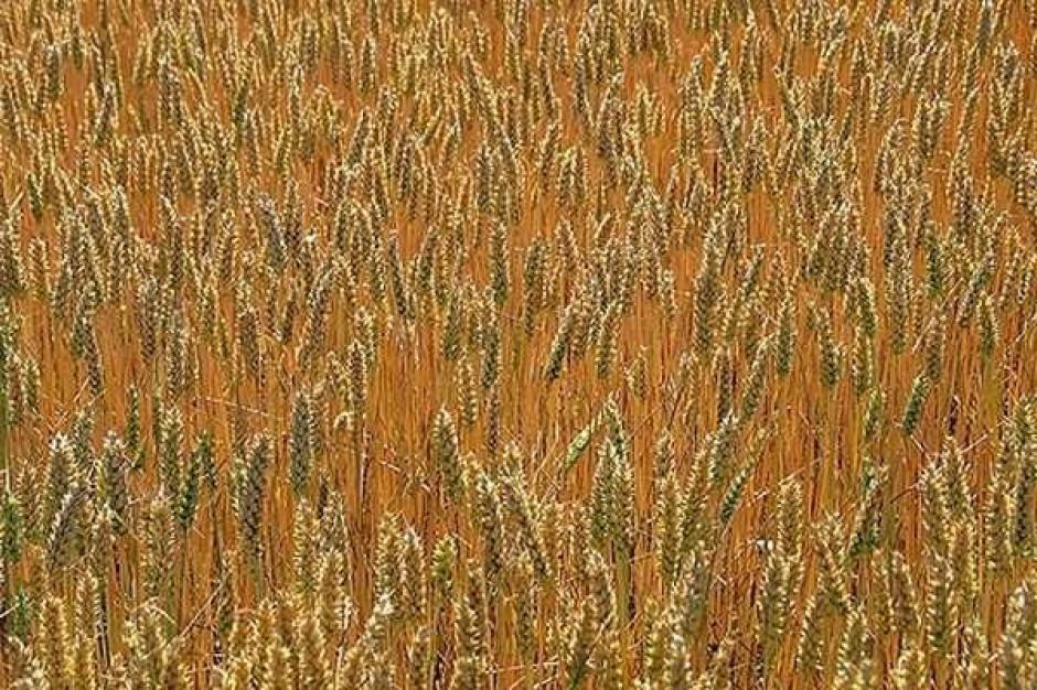 Utrzymują się obawy o zbiory zbóż w niektórych rejonach Europy