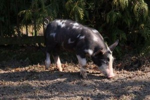 Mięso ze świń rasy puławskiej trafi do kolejnych zakładów mięsnych?