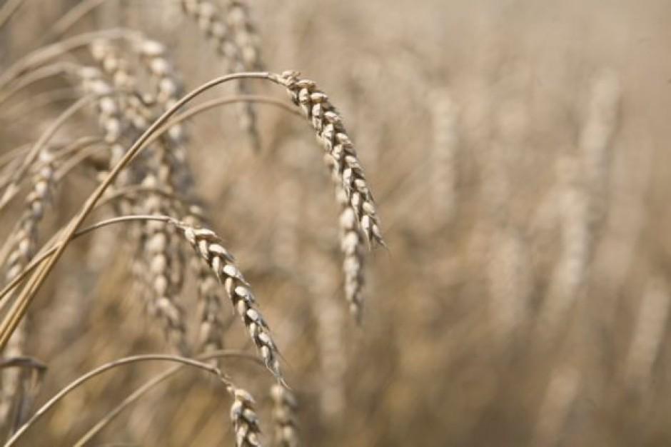 Notowania pszenicy rosły z powodu obaw o zbiory w Europie